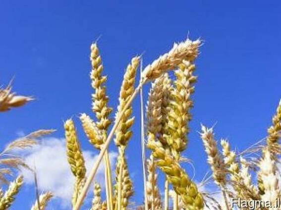 Пшенице 3 класса на Арабские Эмираты.