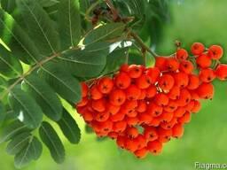 Продаем замороженные плоды рябины красной