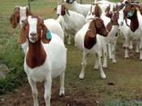 Live Whole Blood Boer Goats / 100% Purebred Mature Boar Goat - photo 4