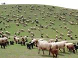 Шерсть овечья - фото 4